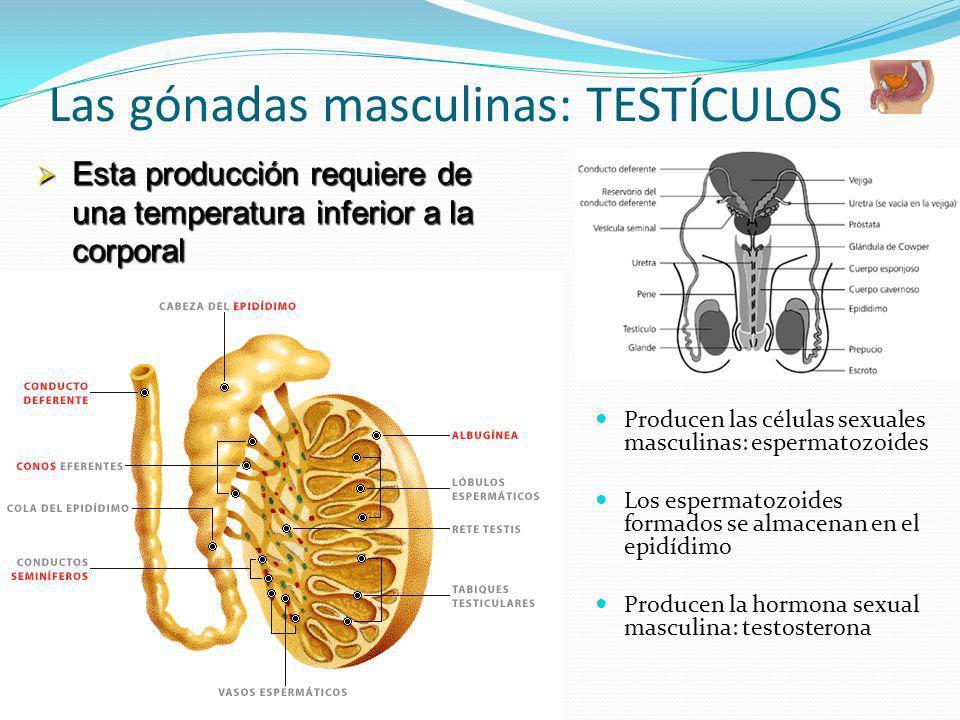 Las gónadas masculinas: TESTÍCULOS Producen las células sexuales masculinas: espermatozoides Los espermatozoides formados se almacenan en el epidídimo