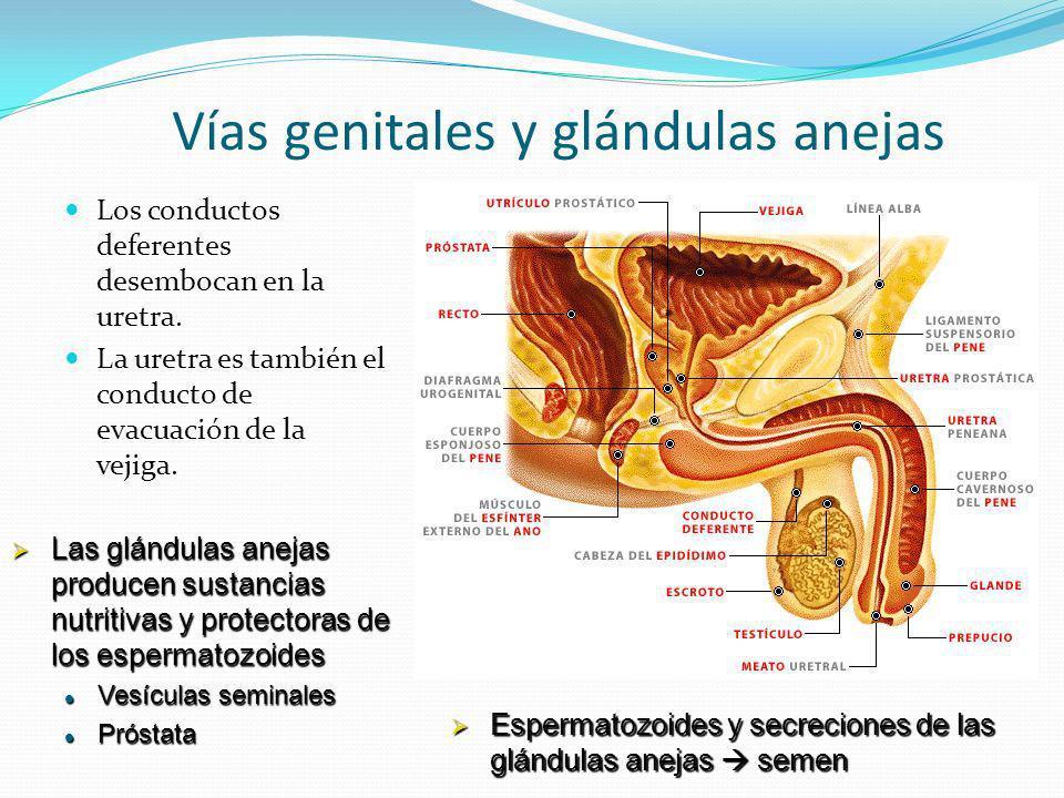 Vías genitales y glándulas anejas Los conductos deferentes desembocan en la uretra. La uretra es también el conducto de evacuación de la vejiga. Las g
