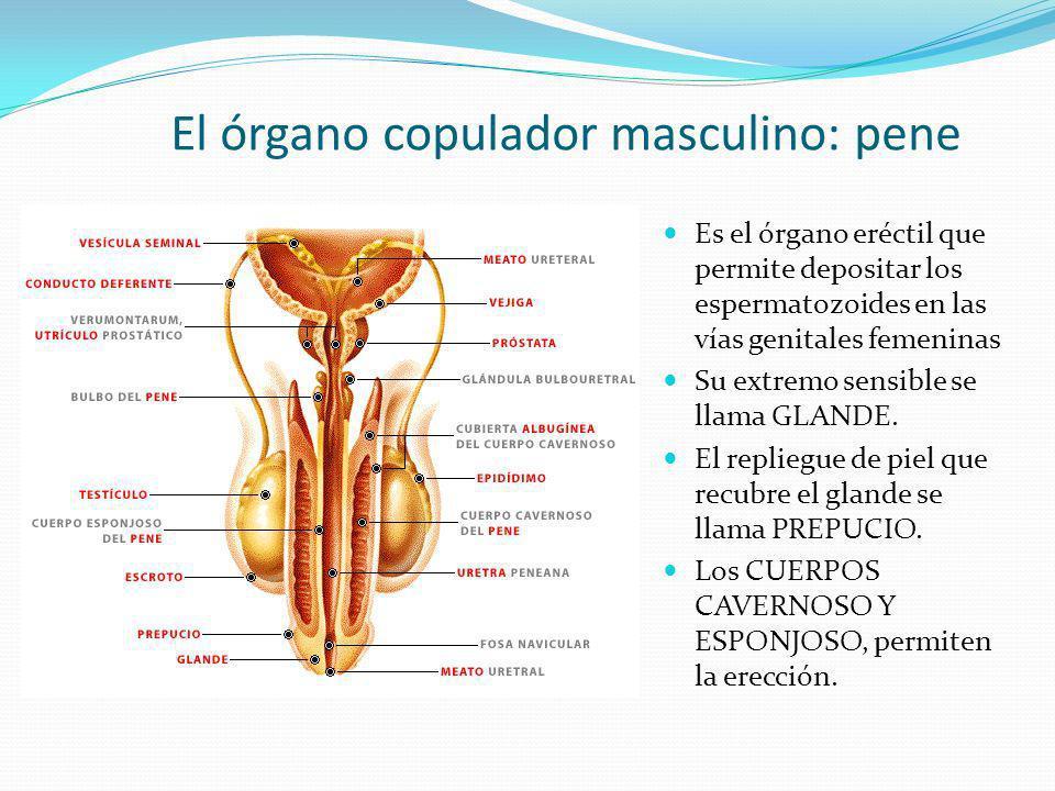 El órgano copulador masculino: pene Es el órgano eréctil que permite depositar los espermatozoides en las vías genitales femeninas Su extremo sensible
