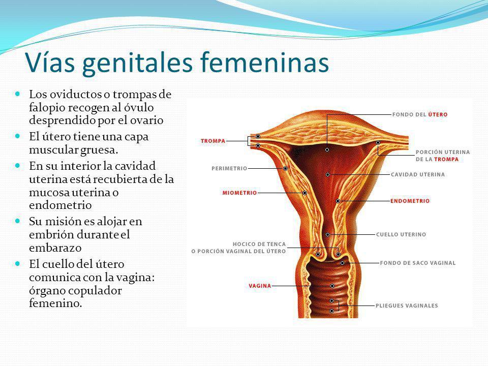 Genitales externos femeninos El conjunto de genitales externos femeninos se llama VULVA.
