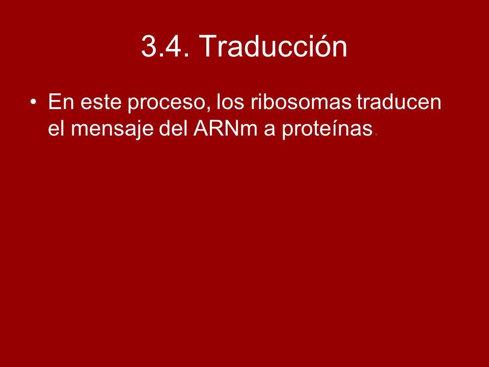 3.4. Traducción En este proceso, los ribosomas traducen el mensaje del ARNm a proteínas.