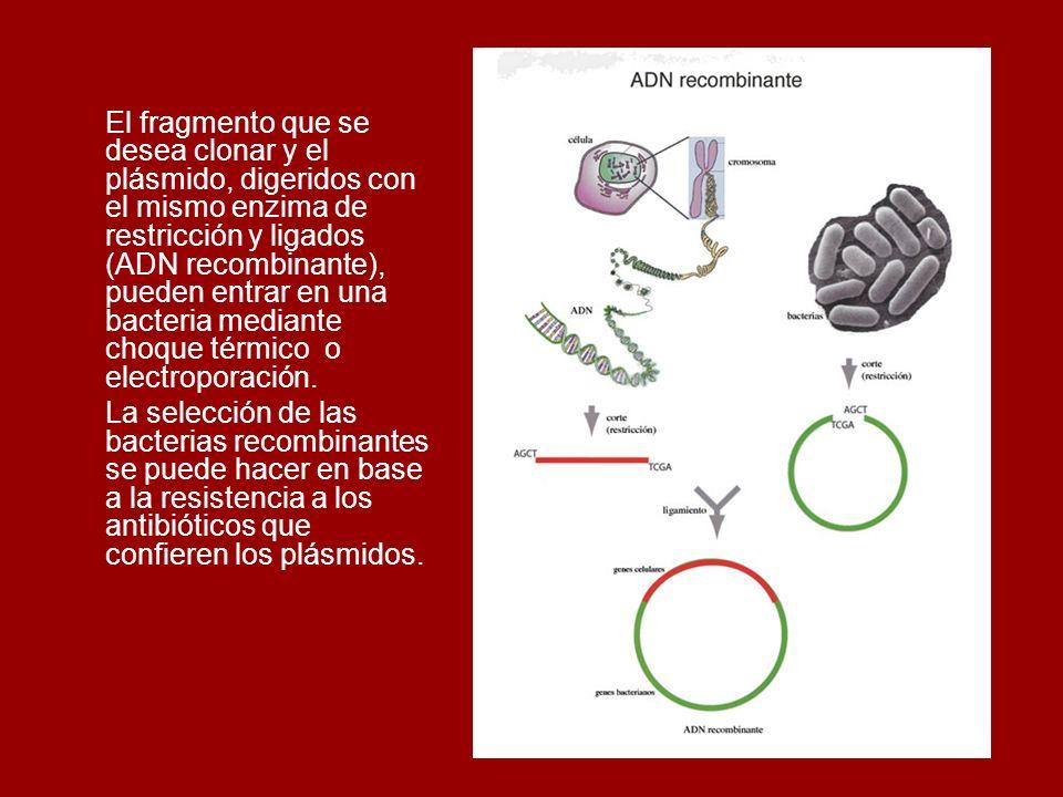 El fragmento que se desea clonar y el plásmido, digeridos con el mismo enzima de restricción y ligados (ADN recombinante), pueden entrar en una bacter