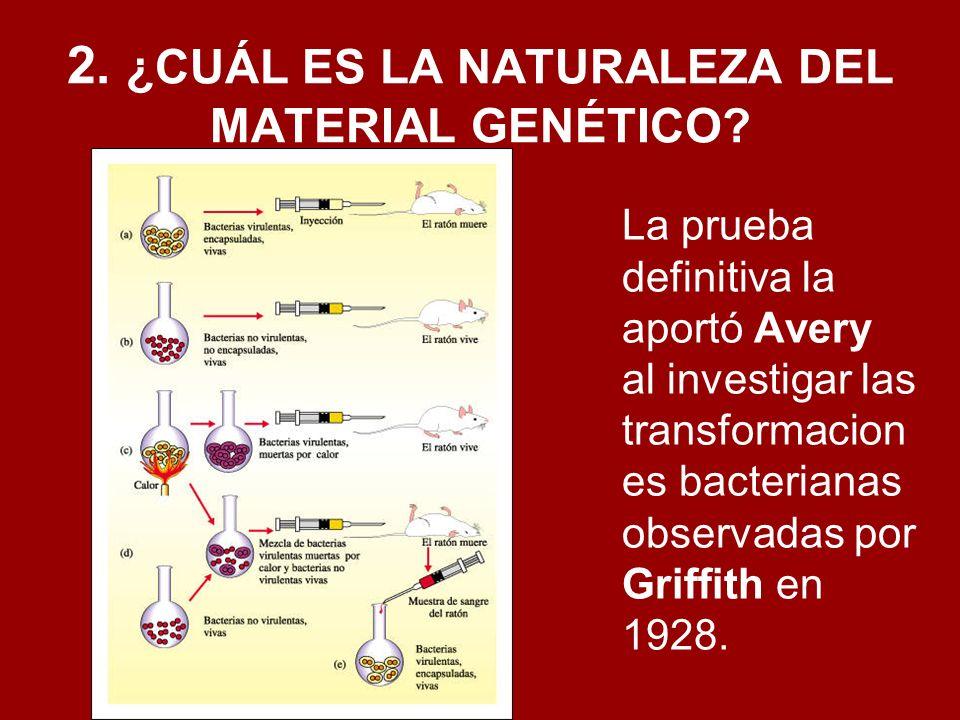 2. ¿CUÁL ES LA NATURALEZA DEL MATERIAL GENÉTICO? La prueba definitiva la aportó Avery al investigar las transformacion es bacterianas observadas por G