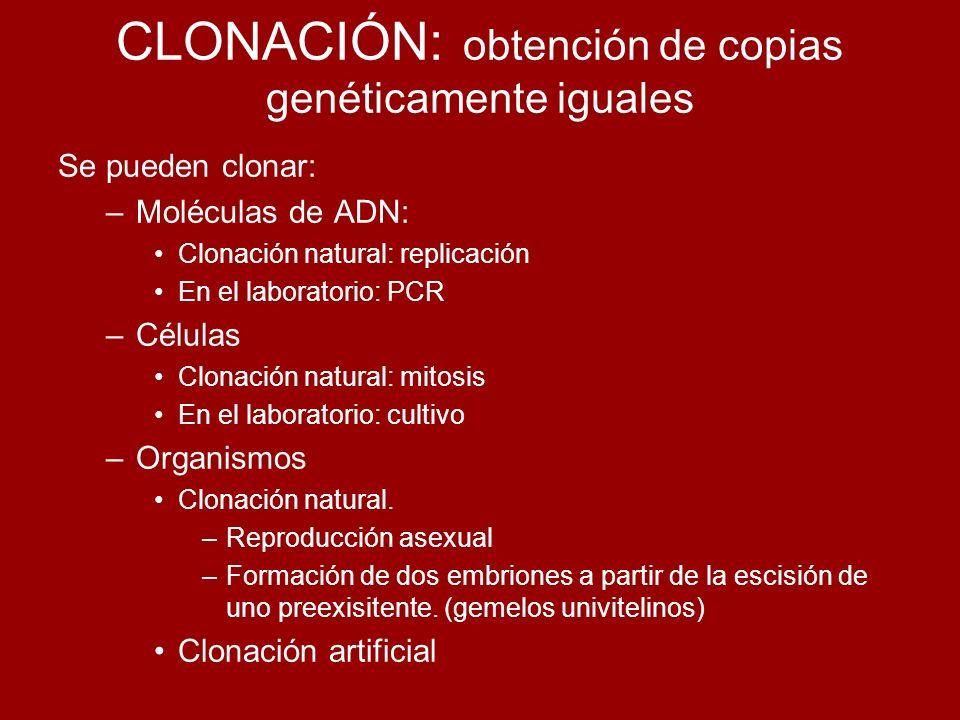 CLONACIÓN: obtención de copias genéticamente iguales Se pueden clonar: –Moléculas de ADN: Clonación natural: replicación En el laboratorio: PCR –Célul