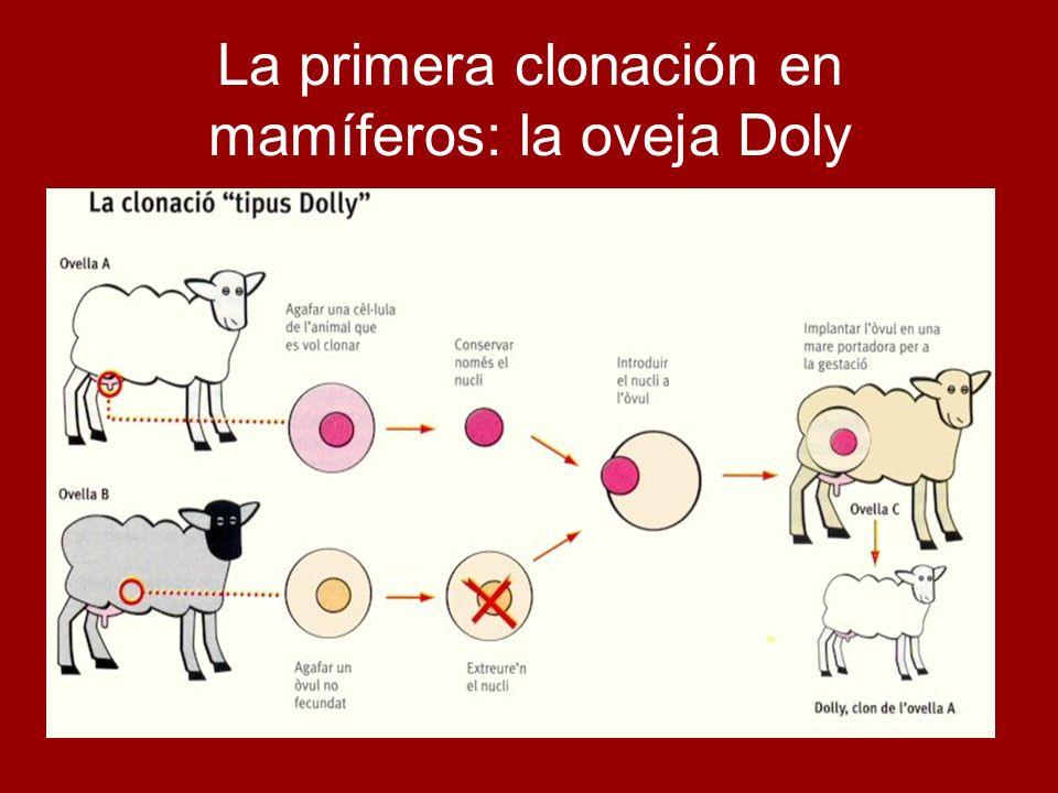 La primera clonación en mamíferos: la oveja Doly