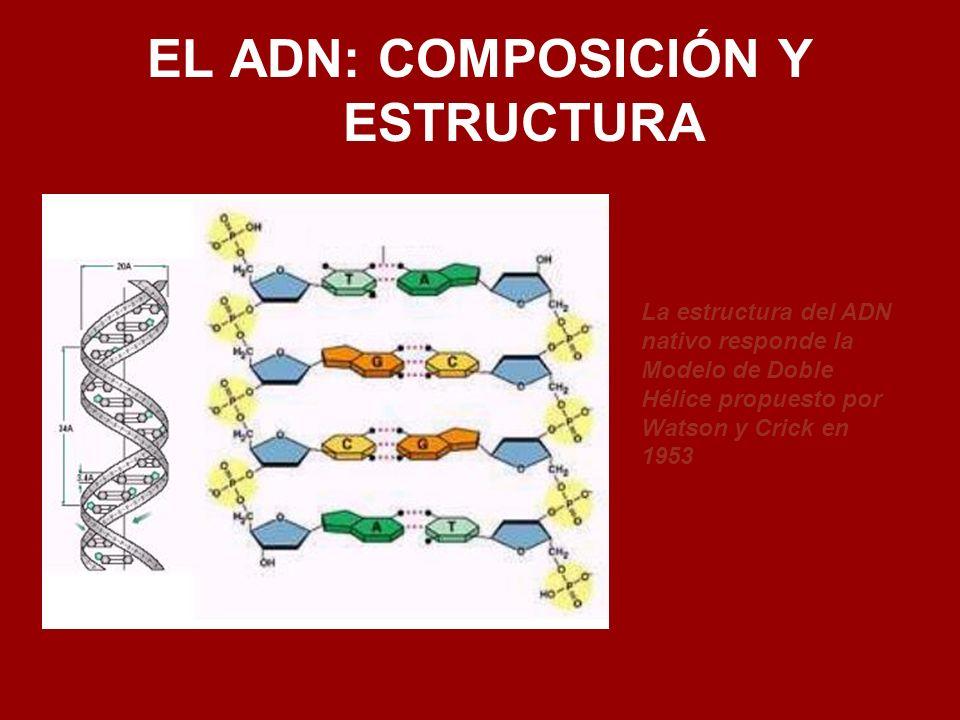 EL ADN: COMPOSICIÓN Y ESTRUCTURA La estructura del ADN nativo responde la Modelo de Doble Hélice propuesto por Watson y Crick en 1953
