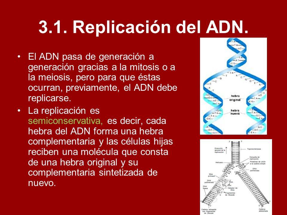 3.1. Replicación del ADN. El ADN pasa de generación a generación gracias a la mitosis o a la meiosis, pero para que éstas ocurran, previamente, el ADN
