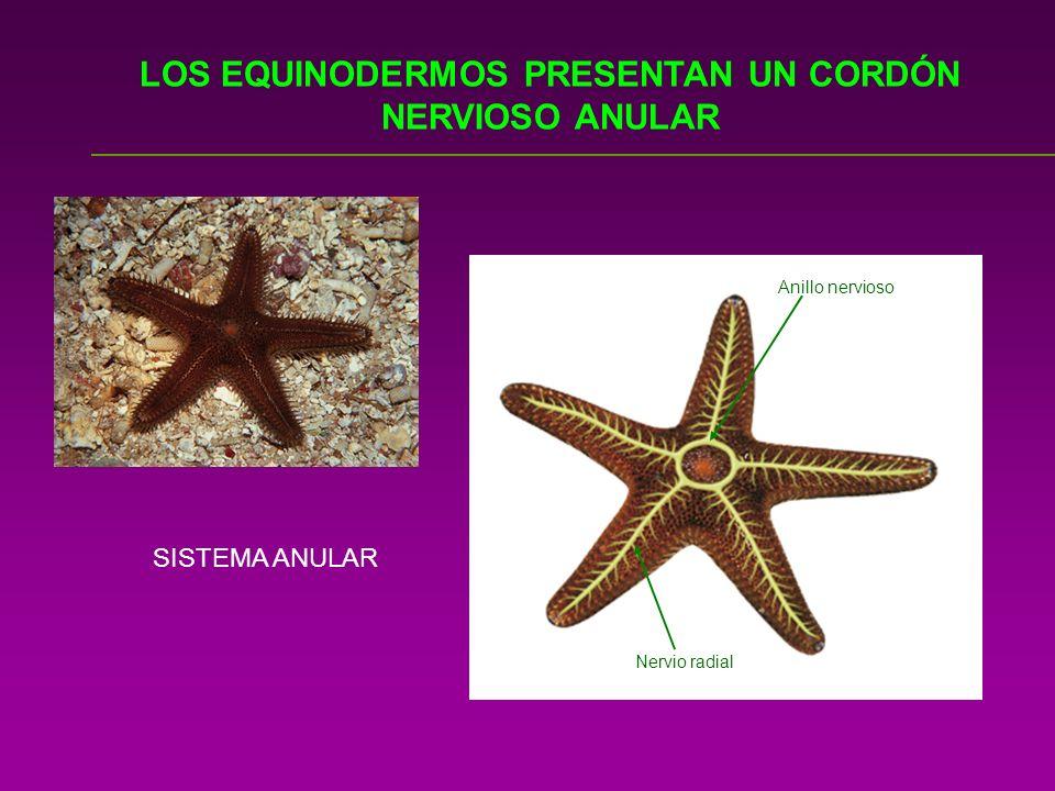 LOS EQUINODERMOS PRESENTAN UN CORDÓN NERVIOSO ANULAR Anillo nervioso Nervio radial SISTEMA ANULAR