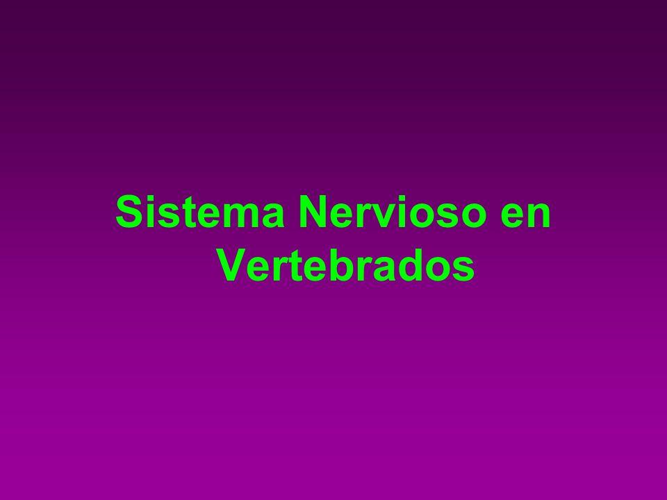 Sistema Nervioso en Vertebrados