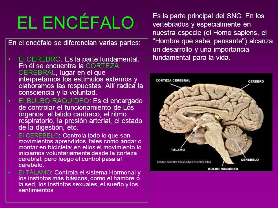 EL ENCÉFALO En el encéfalo se diferencian varias partes: El CEREBRO: Es la parte fundamental. En él se encuentra la CORTEZA CEREBRAL, lugar en el que