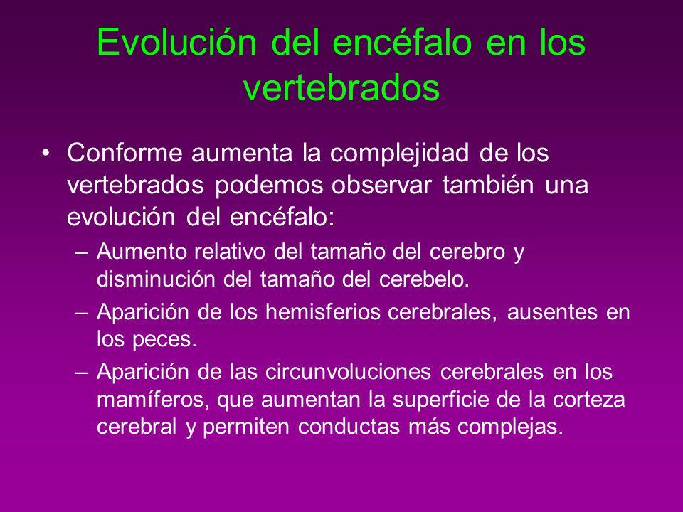 Evolución del encéfalo en los vertebrados Conforme aumenta la complejidad de los vertebrados podemos observar también una evolución del encéfalo: –Aum