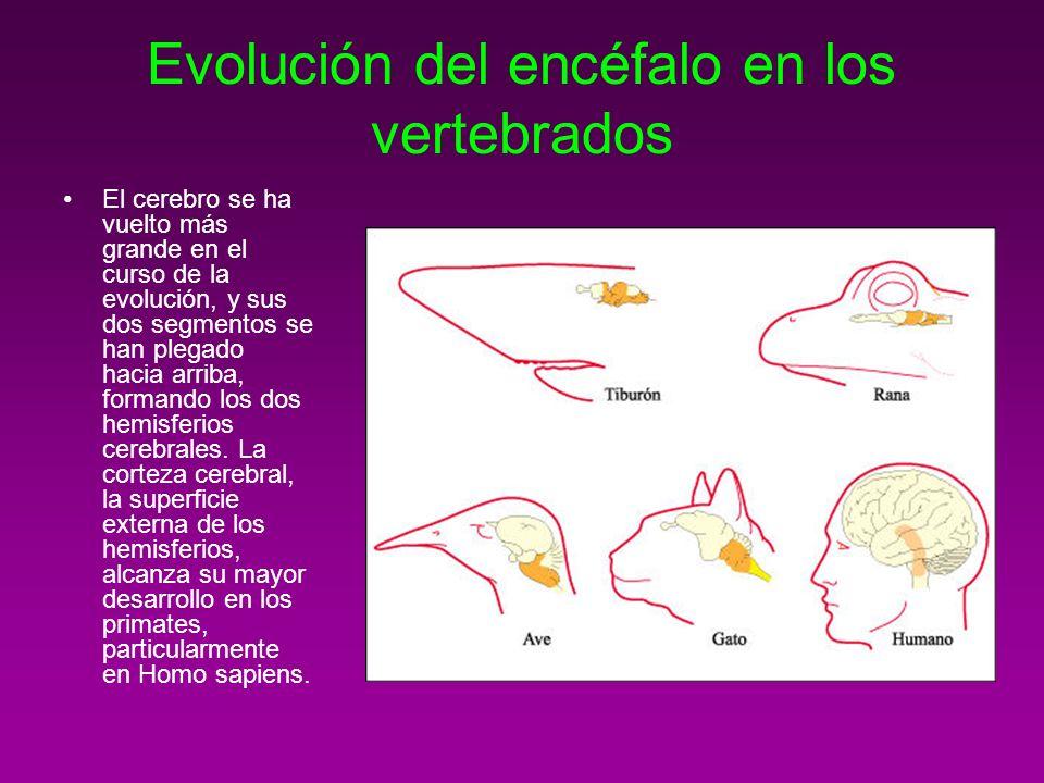 Evolución del encéfalo en los vertebrados El cerebro se ha vuelto más grande en el curso de la evolución, y sus dos segmentos se han plegado hacia arr