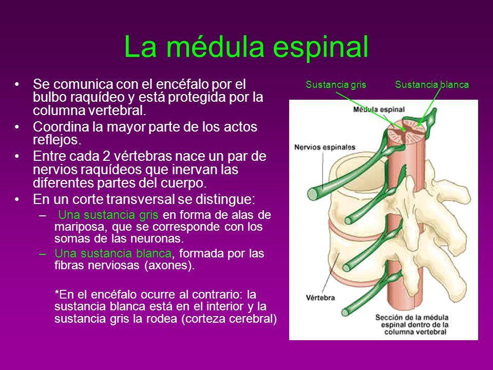 La médula espinal Se comunica con el encéfalo por el bulbo raquídeo y está protegida por la columna vertebral. Coordina la mayor parte de los actos re