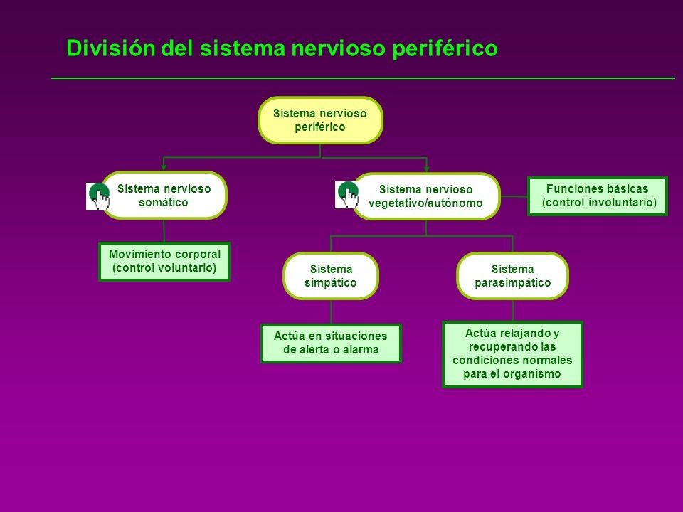 División del sistema nervioso periférico Sistema nervioso periférico Movimiento corporal (control voluntario) Funciones básicas (control involuntario)