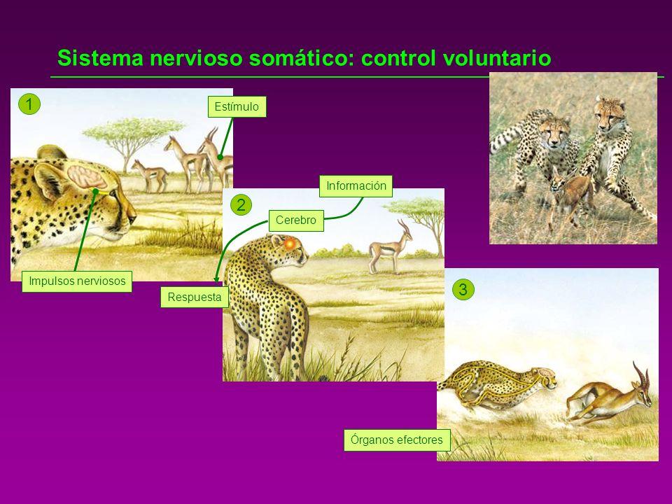 Sistema nervioso somático: control voluntario 1 2 3 Cerebro Información Respuesta Órganos efectores Impulsos nerviosos Estímulo