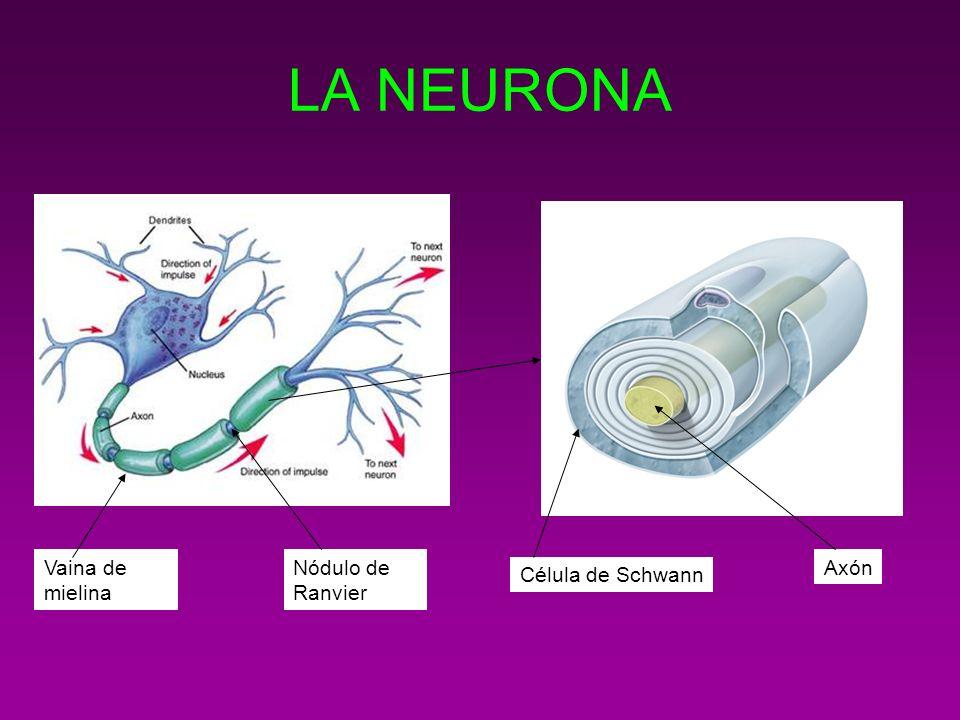 LA NEURONA Célula de Schwann AxónVaina de mielina Nódulo de Ranvier