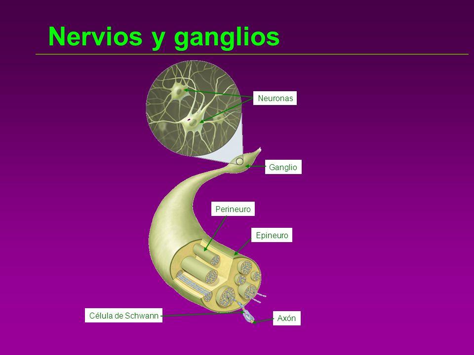 EL ENCÉFALO En el encéfalo se diferencian varias partes: El CEREBRO: Es la parte fundamental.