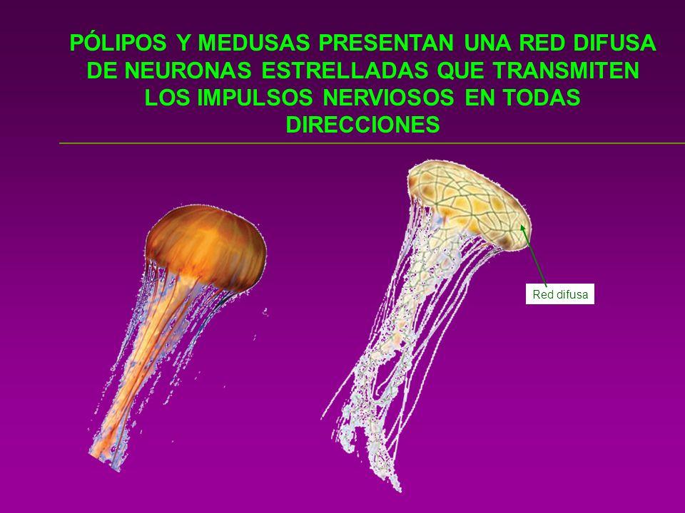 ANIMALES MÁS COMPLEJOS COMO LOS PLATELMINTOS CONCENTRAN LAS NEURONAS EN CORDONES NERVIOSOS Ganglios cerebrales Cordón nervioso CORDONES NERVIOSOS LONGITUDINALES: SISTEMA CORDAL