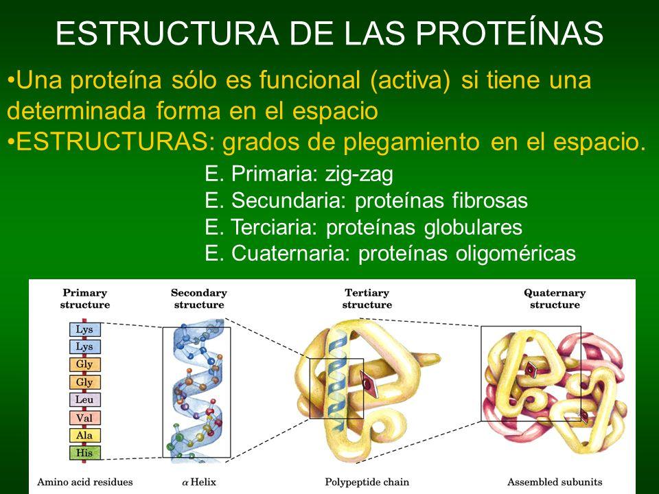 ESTRUCTURA DE LAS PROTEÍNAS Una proteína sólo es funcional (activa) si tiene una determinada forma en el espacio ESTRUCTURAS: grados de plegamiento en