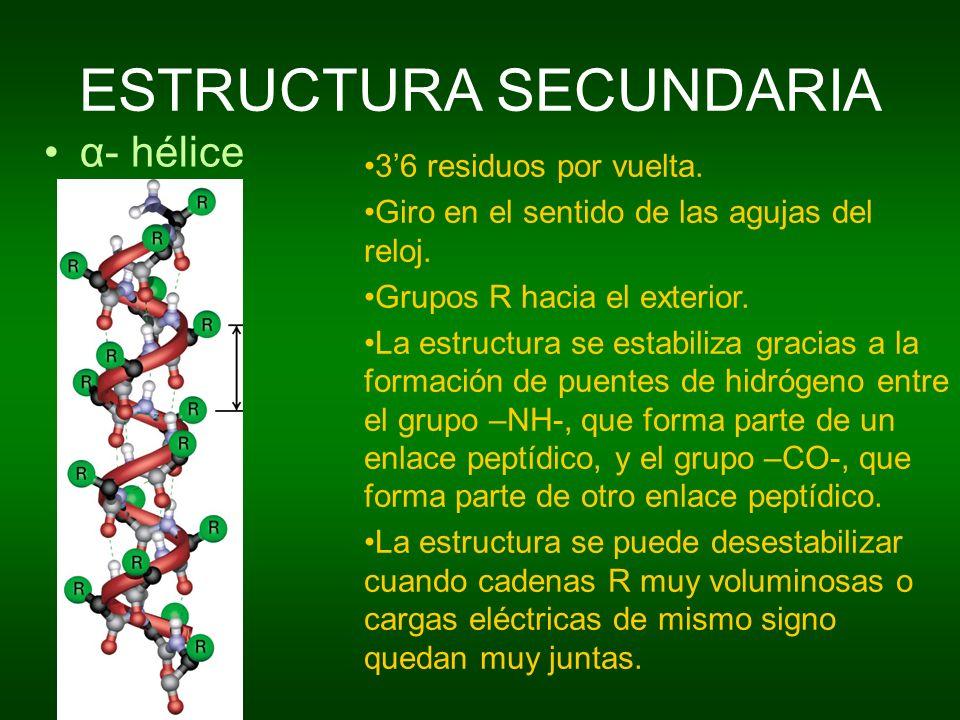 ESTRUCTURA SECUNDARIA α- hélice 36 residuos por vuelta. Giro en el sentido de las agujas del reloj. Grupos R hacia el exterior. La estructura se estab