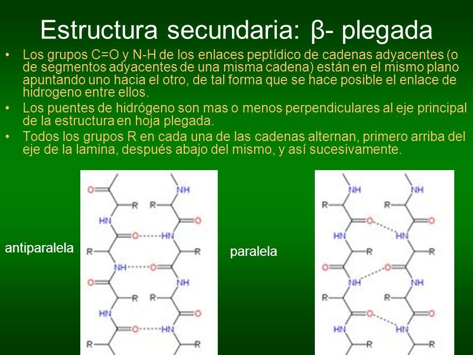 Estructura secundaria: β- plegada Los grupos C=O y N-H de los enlaces peptídico de cadenas adyacentes (o de segmentos adyacentes de una misma cadena)