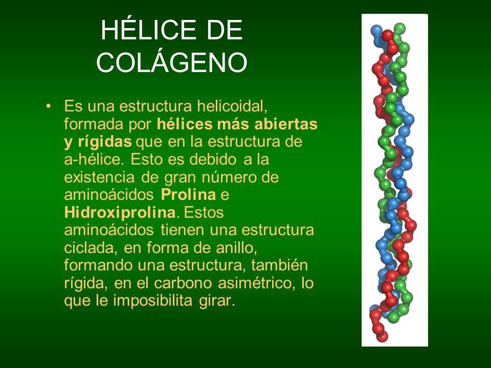 HÉLICE DE COLÁGENO Es una estructura helicoidal, formada por hélices más abiertas y rígidas que en la estructura de a-hélice. Esto es debido a la exis