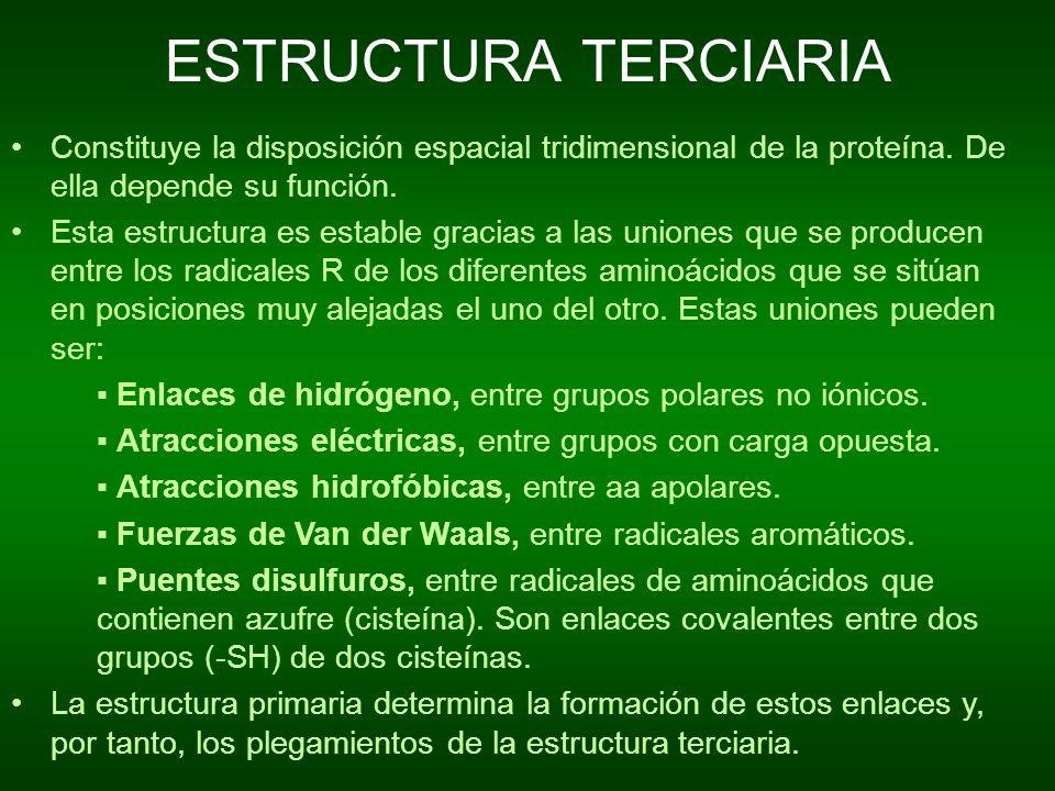 ESTRUCTURA TERCIARIA Constituye la disposición espacial tridimensional de la proteína. De ella depende su función. Esta estructura es estable gracias