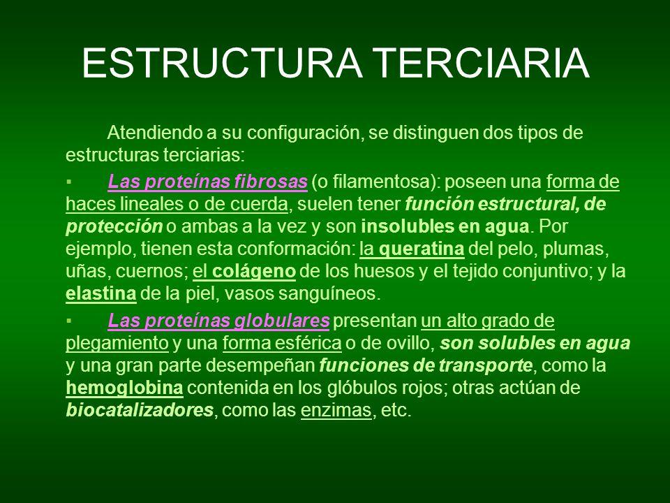 ESTRUCTURA TERCIARIA Atendiendo a su configuración, se distinguen dos tipos de estructuras terciarias: Las proteínas fibrosas (o filamentosa): poseen