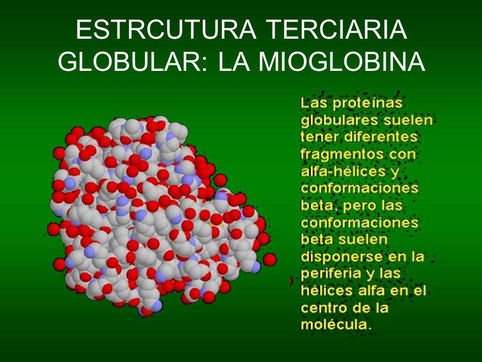 ESTRCUTURA TERCIARIA GLOBULAR: LA MIOGLOBINA