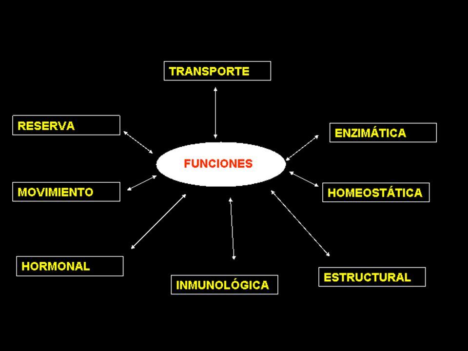 HÉLICE DE COLÁGENO Es una estructura helicoidal, formada por hélices más abiertas y rígidas que en la estructura de a-hélice.