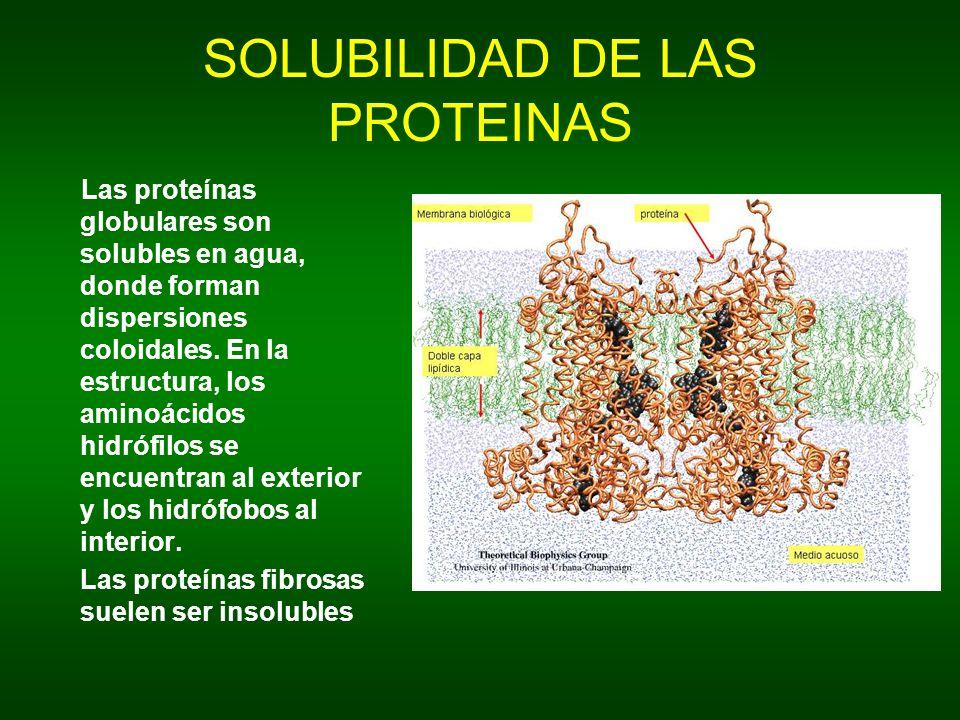 SOLUBILIDAD DE LAS PROTEINAS Las proteínas globulares son solubles en agua, donde forman dispersiones coloidales. En la estructura, los aminoácidos hi