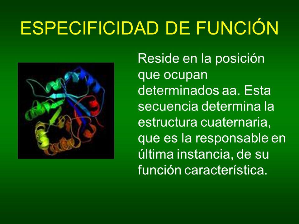 ESPECIFICIDAD DE FUNCIÓN Reside en la posición que ocupan determinados aa. Esta secuencia determina la estructura cuaternaria, que es la responsable e