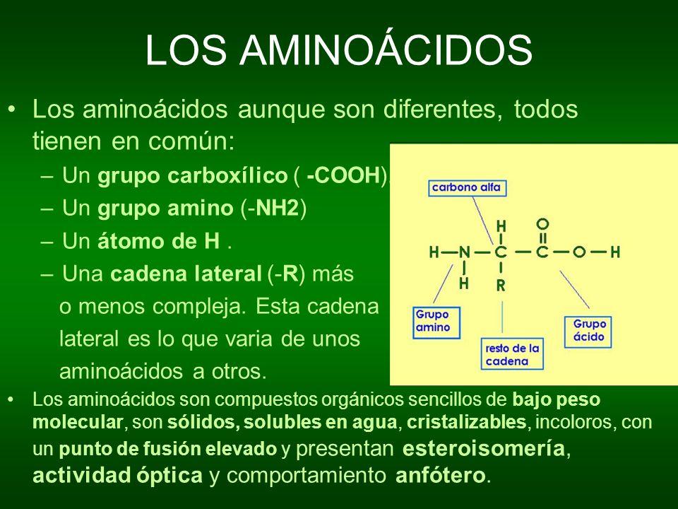 AMINOÁCIDOS: CARÁCTER ANFÓTERO En disolución acuosa los aminoácidos se pueden comportar como ácidos o como bases dependiendo del pH de la disolución, esto es debido la presencia del grupo carboxílico, que tiene carácter ácido, y del grupo amino, que tiene carácter básico.