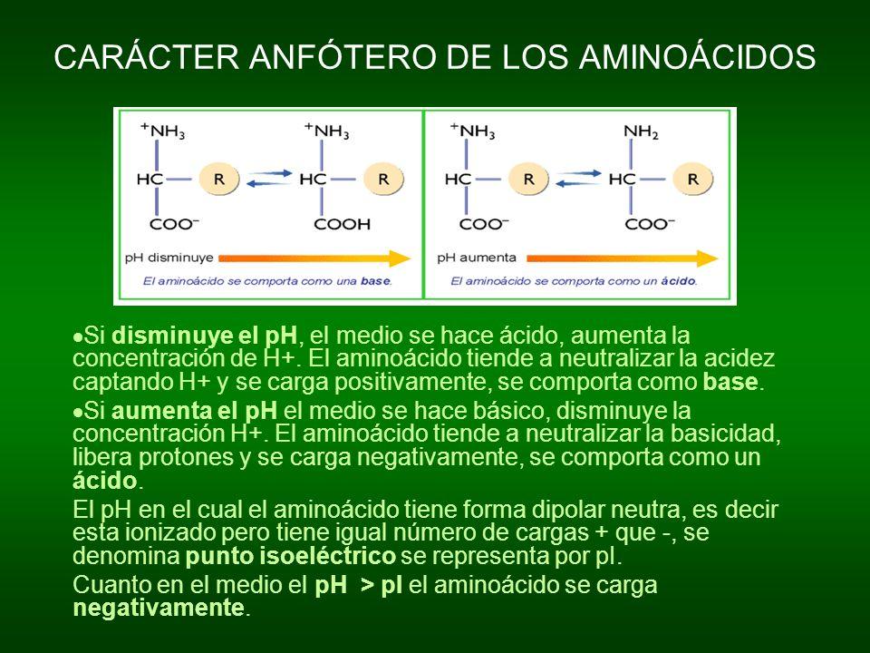CARÁCTER ANFÓTERO DE LOS AMINOÁCIDOS Si disminuye el pH, el medio se hace ácido, aumenta la concentración de H+. El aminoácido tiende a neutralizar la