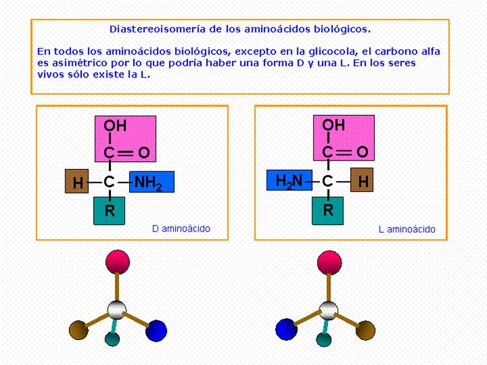 ESTRUCTURA PRIMARIA Es la secuencias de aminoácidos dispuestos en zig-zag (el enlace peptídico no puede girar y los átomos de C, N y O que interviene en el enlace se mantiene en le mismo plano) Según el número de aminoácidos en la E1: – n<10: oligopéptido – 10< n <100: polipéptido (PM < 5000) – n > 100: proteína (PM entre 5000 y 40.000.000) La estructura primaria va a ser de gran importancia, pues la secuencia es la que determina el resto de los niveles y como consecuencia la función de la proteína.