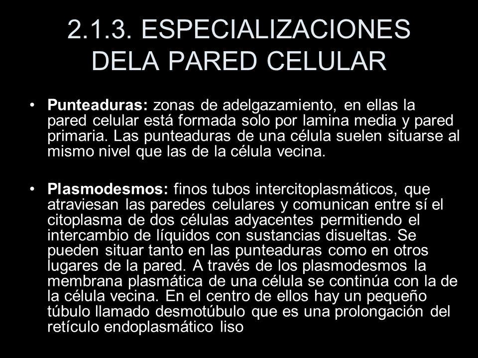 2.1.3. ESPECIALIZACIONES DELA PARED CELULAR Punteaduras: zonas de adelgazamiento, en ellas la pared celular está formada solo por lamina media y pared
