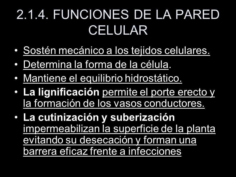 2.1.4. FUNCIONES DE LA PARED CELULAR Sostén mecánico a los tejidos celulares. Determina la forma de la célula. Mantiene el equilibrio hidrostático. La