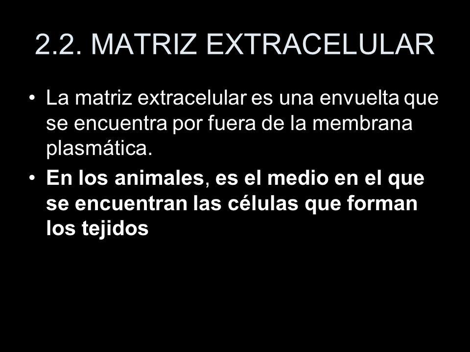 2.2. MATRIZ EXTRACELULAR La matriz extracelular es una envuelta que se encuentra por fuera de la membrana plasmática. En los animales, es el medio en