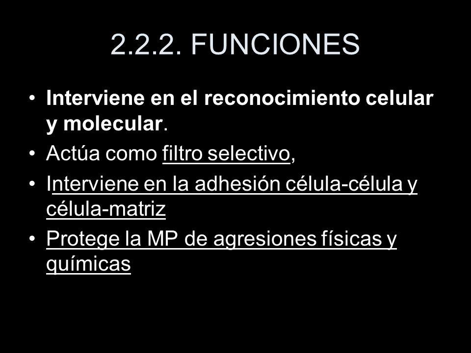 2.2.2. FUNCIONES Interviene en el reconocimiento celular y molecular. Actúa como filtro selectivo, Interviene en la adhesión célula-célula y célula-ma