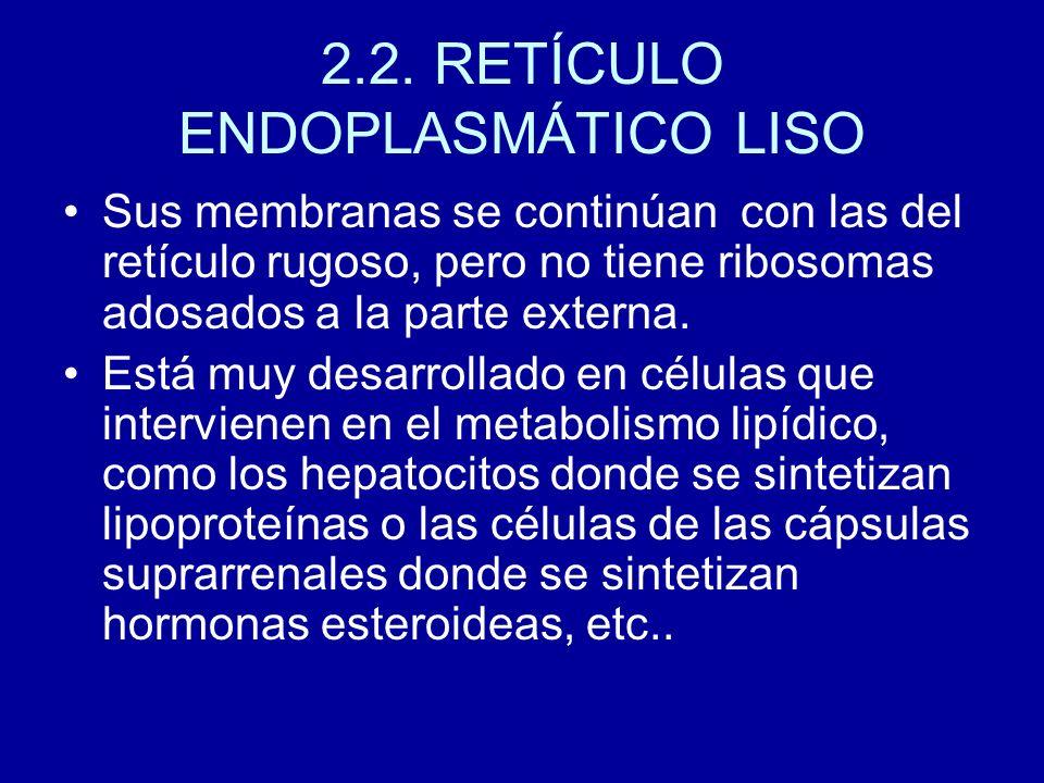 2.2. RETÍCULO ENDOPLASMÁTICO LISO Sus membranas se continúan con las del retículo rugoso, pero no tiene ribosomas adosados a la parte externa. Está mu