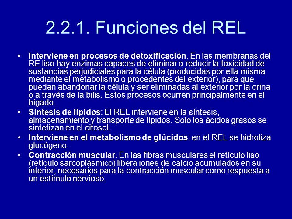 2.2.1. Funciones del REL Interviene en procesos de detoxificación. En las membranas del RE liso hay enzimas capaces de eliminar o reducir la toxicidad
