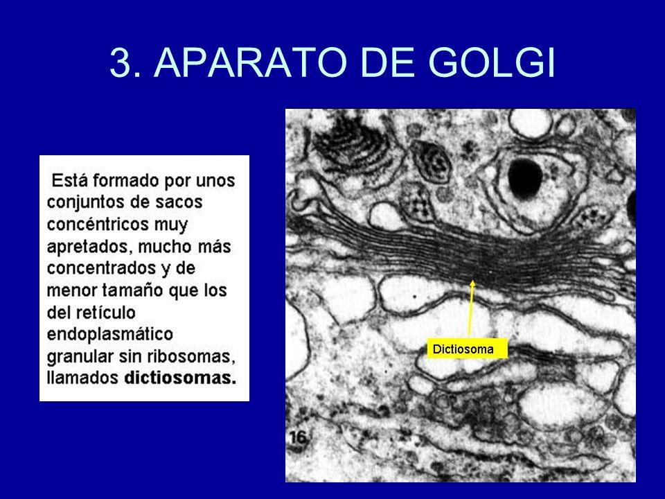 3. APARATO DE GOLGI