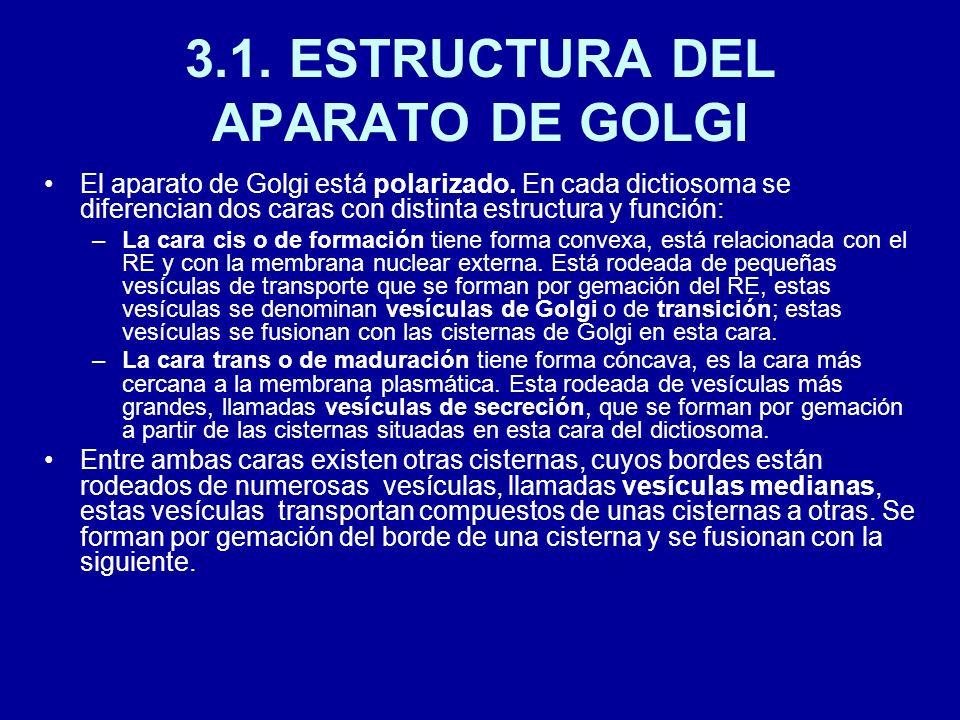 3.1. ESTRUCTURA DEL APARATO DE GOLGI El aparato de Golgi está polarizado. En cada dictiosoma se diferencian dos caras con distinta estructura y funció