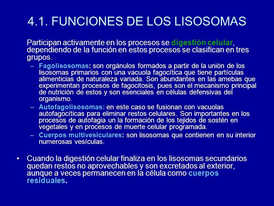 4.1. FUNCIONES DE LOS LISOSOMAS Participan activamente en los procesos se digestión celular, dependiendo de la función en estos procesos se clasifican