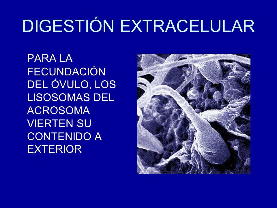 DIGESTIÓN EXTRACELULAR PARA LA FECUNDACIÓN DEL ÓVULO, LOS LISOSOMAS DEL ACROSOMA VIERTEN SU CONTENIDO A EXTERIOR