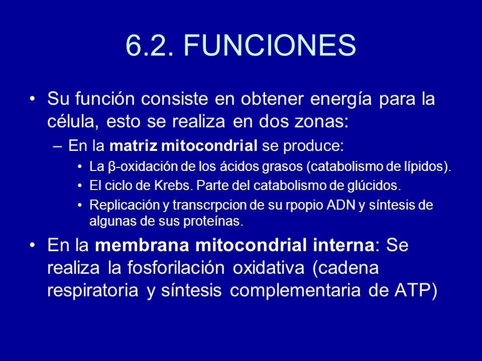 6.2. FUNCIONES Su función consiste en obtener energía para la célula, esto se realiza en dos zonas: –En la matriz mitocondrial se produce: La β-oxidac