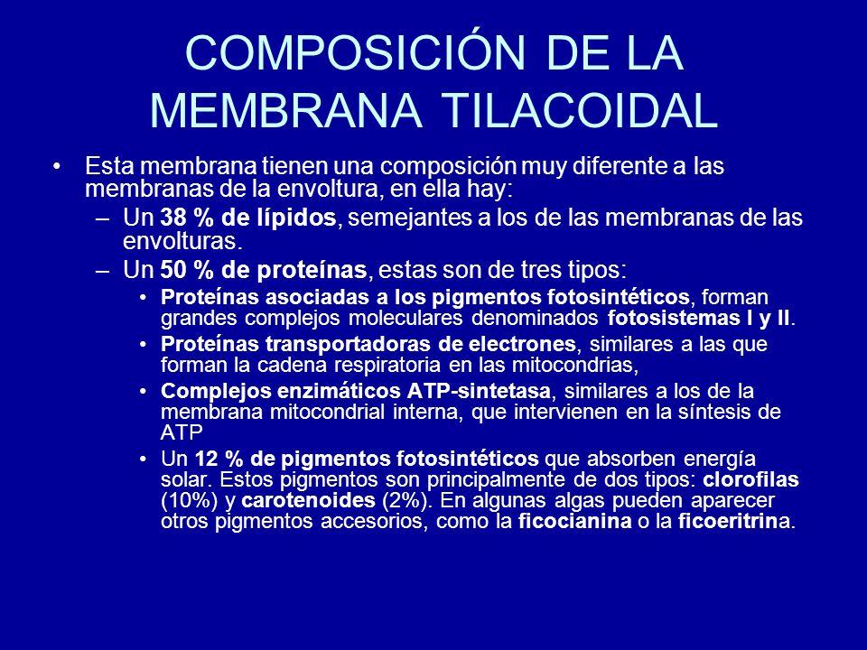 COMPOSICIÓN DE LA MEMBRANA TILACOIDAL Esta membrana tienen una composición muy diferente a las membranas de la envoltura, en ella hay: –Un 38 % de líp