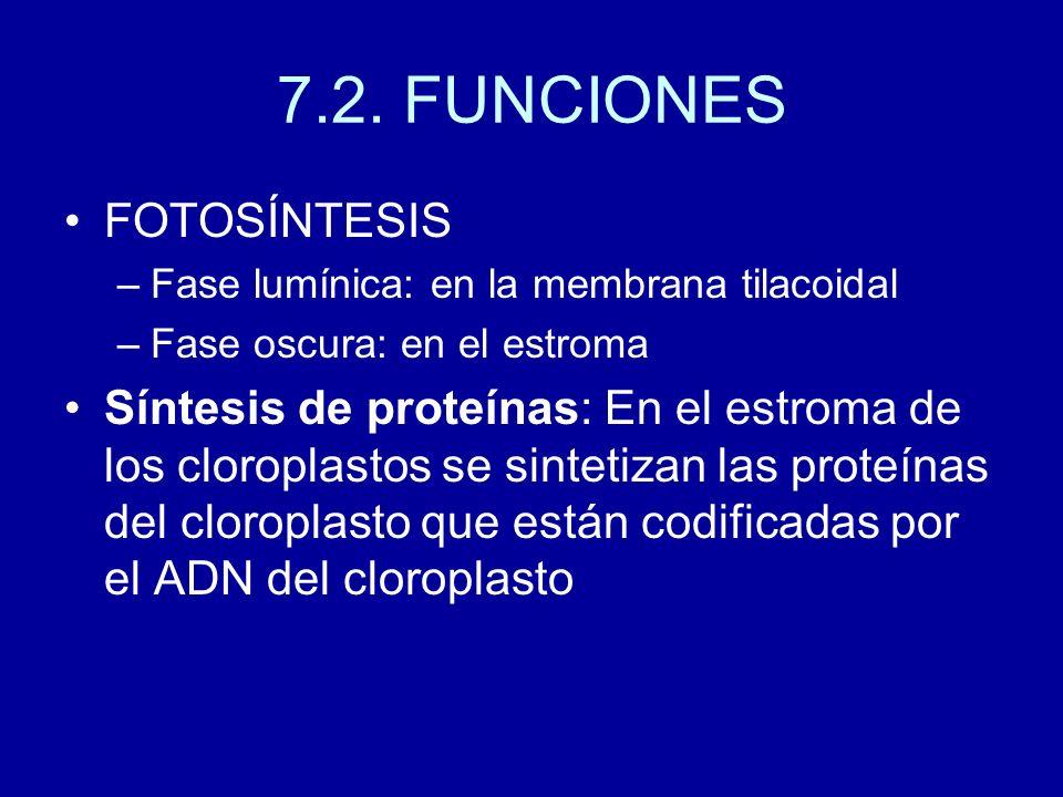 7.2. FUNCIONES FOTOSÍNTESIS –Fase lumínica: en la membrana tilacoidal –Fase oscura: en el estroma Síntesis de proteínas: En el estroma de los cloropla