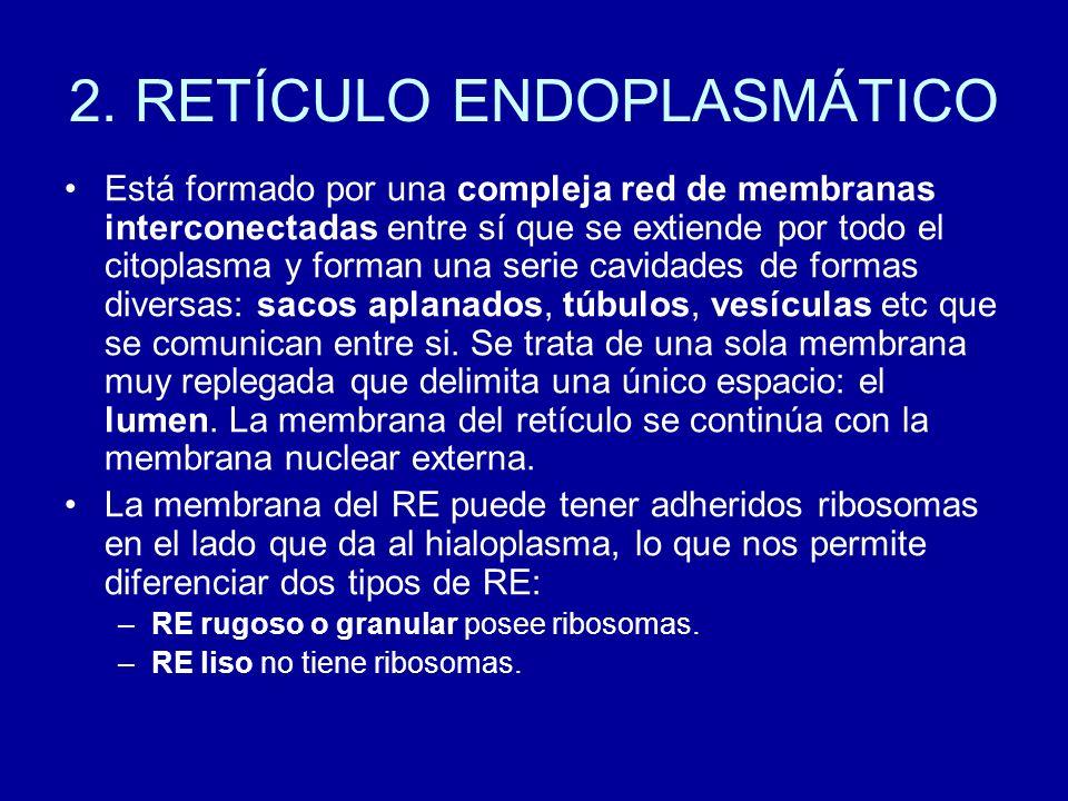2. RETÍCULO ENDOPLASMÁTICO Está formado por una compleja red de membranas interconectadas entre sí que se extiende por todo el citoplasma y forman una