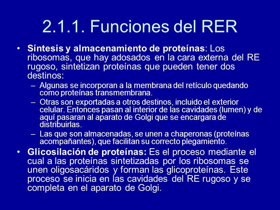 2.1.1. Funciones del RER Síntesis y almacenamiento de proteínas: Los ribosomas, que hay adosados en la cara externa del RE rugoso, sintetizan proteína